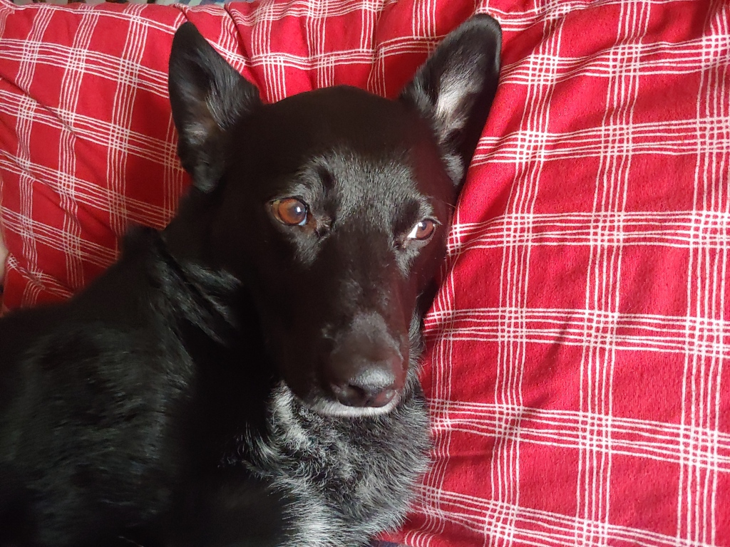 A black dog uses his eyes to beg for off-camera food.